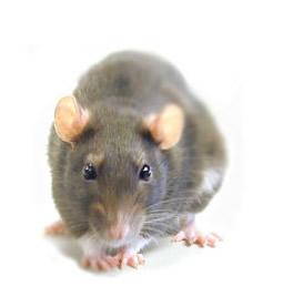 Desratização(Controle de ratos)