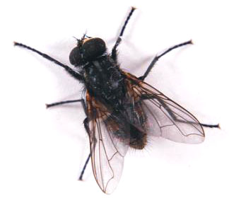 Controle de moscas